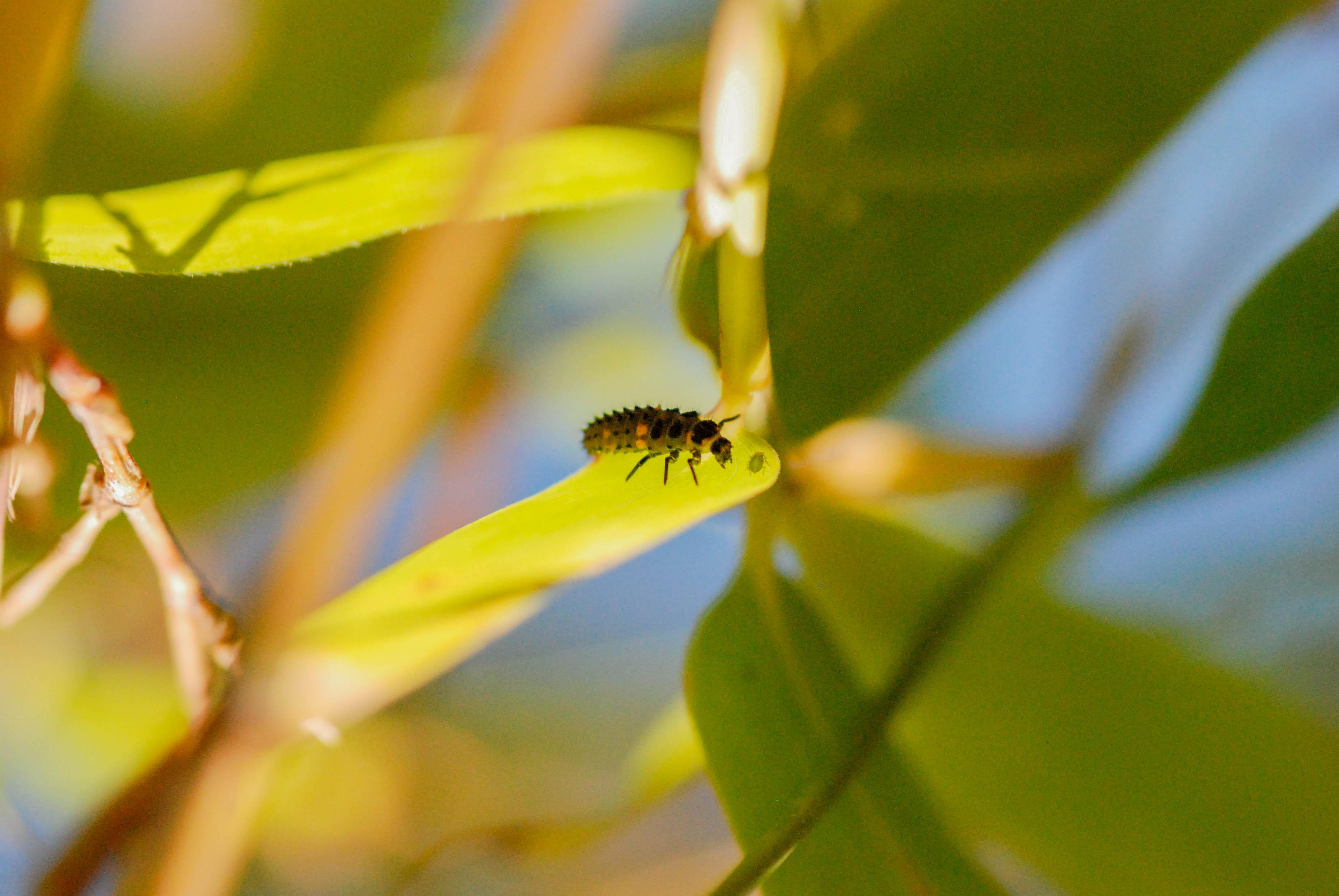 La beaut des larves je m 39 attarde - Larve de coccinelle ...